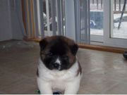 Mavelouse And Cute Akita Puppies for sale