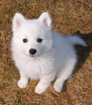 cute japanese spitz puppy for sale to pet lovers