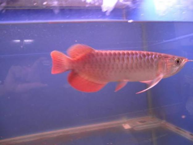 red tail arowana fish and others for sale canberra