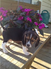 Affectionate Beagle puppies for great families