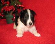 Two beautiful Shetland Sheepdog Puppies For Sale