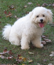 white Bichon Frise Puppies For Sale